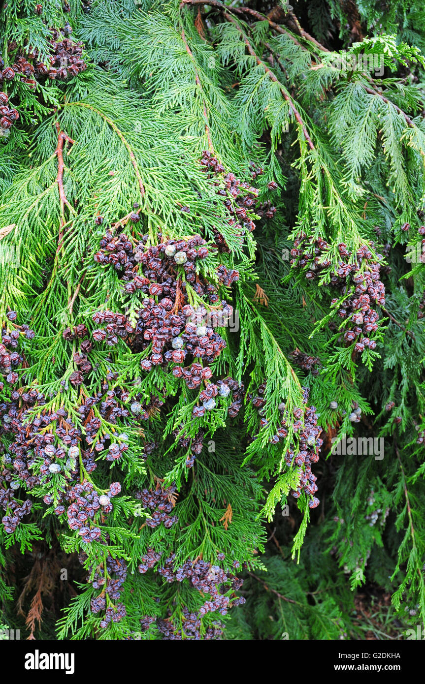 Leaves and fruits of Lawons cypress - Stock Image