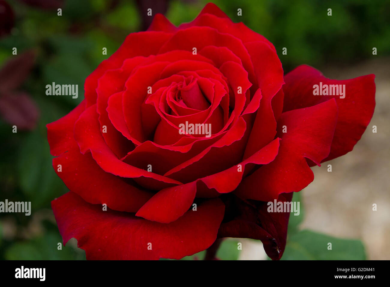 Single Red Rose Flower Stock Images: Rose Red Roses Background Flower Isolated Petal Valentine