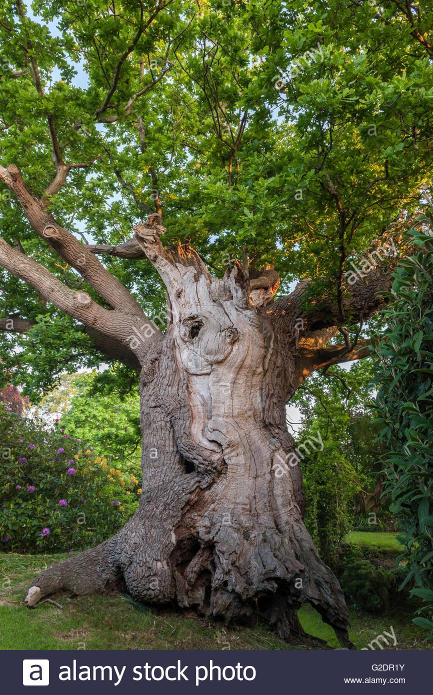 Quercus robur Ancient oak tree - Stock Image