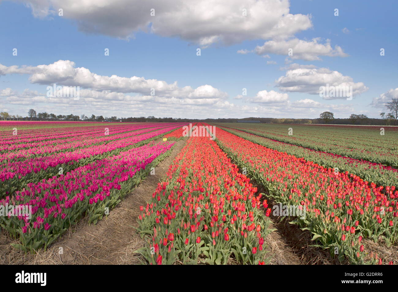 Tulips from Holland - Stock Image