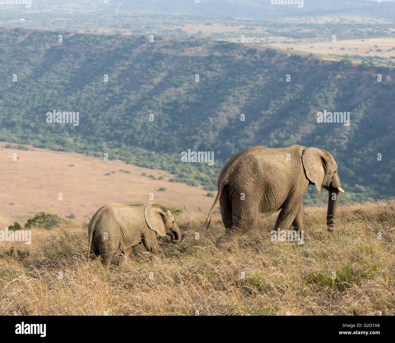 Elephant And Calf Trecking Across The South African Veldt - Stock Image