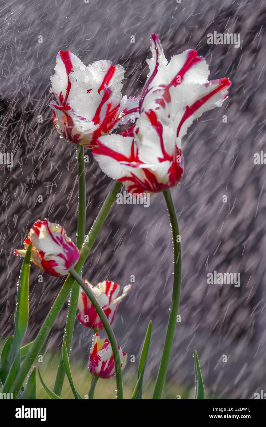 tulips in the rain, travel, vintage, landscape, portrait, decoration, luxury, art, livingroom, bedroom, kitchen, - Stock Image