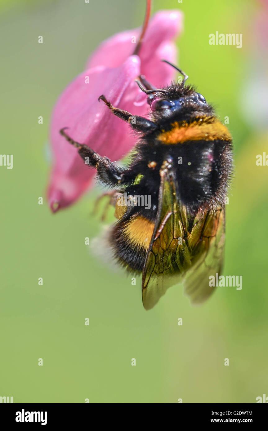 bee, summer, work, travel, vintage, romantic, wildlife, portrait - Stock Image
