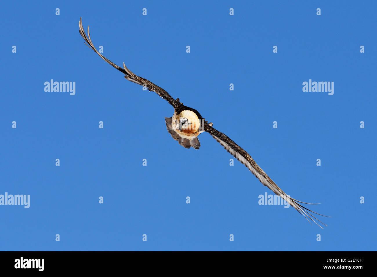 Bearded Vulture (Gypaetus barbatus) gliding, Canton of Valais, Switzerland - Stock Image