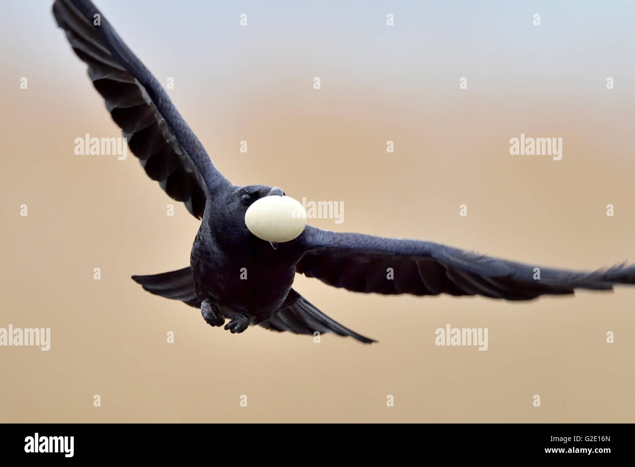 Rook (Corvus frugilegus) flying with stolen egg from a nest of an Eurasian Coot (Fulica atra), Canton of Neuchâtel, - Stock Image