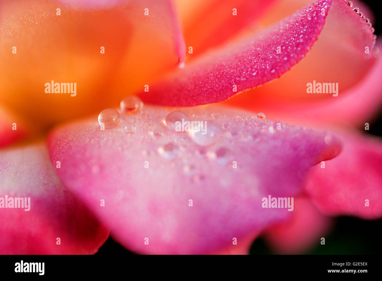 magenta and orange rose with dew drops - Stock Image