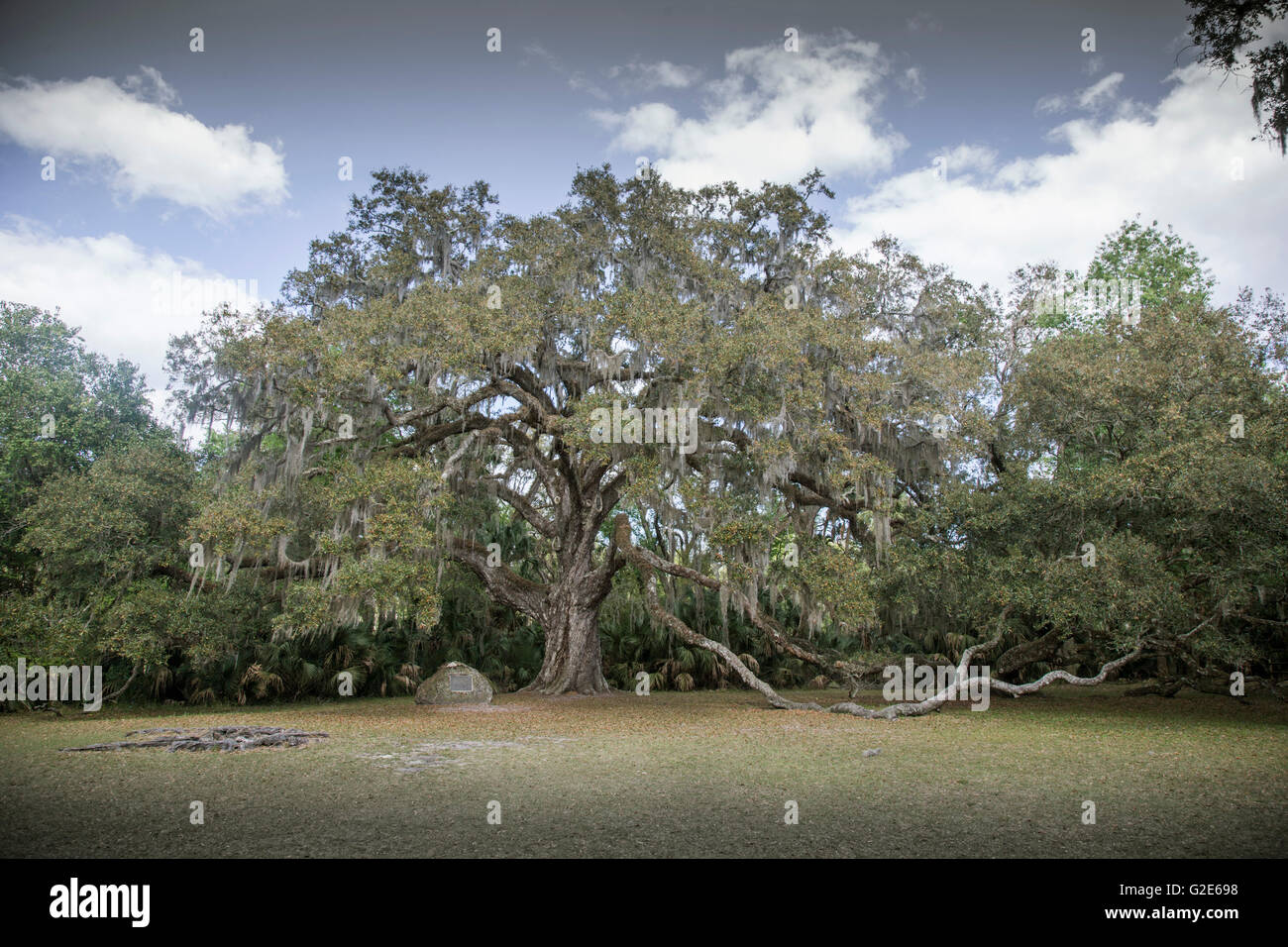 Very Old Oak Tree - Stock Image