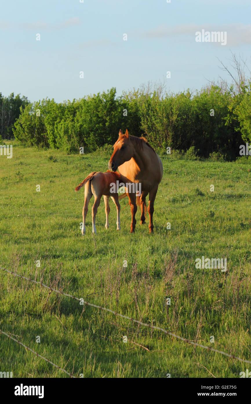 A foal and mare (Equus ferus caballus) in Alberta, Canada - Stock Image
