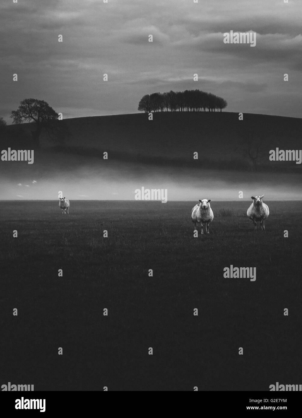Three Sheep in Foggy Field, Gloucestershire, England, UK - Stock Image