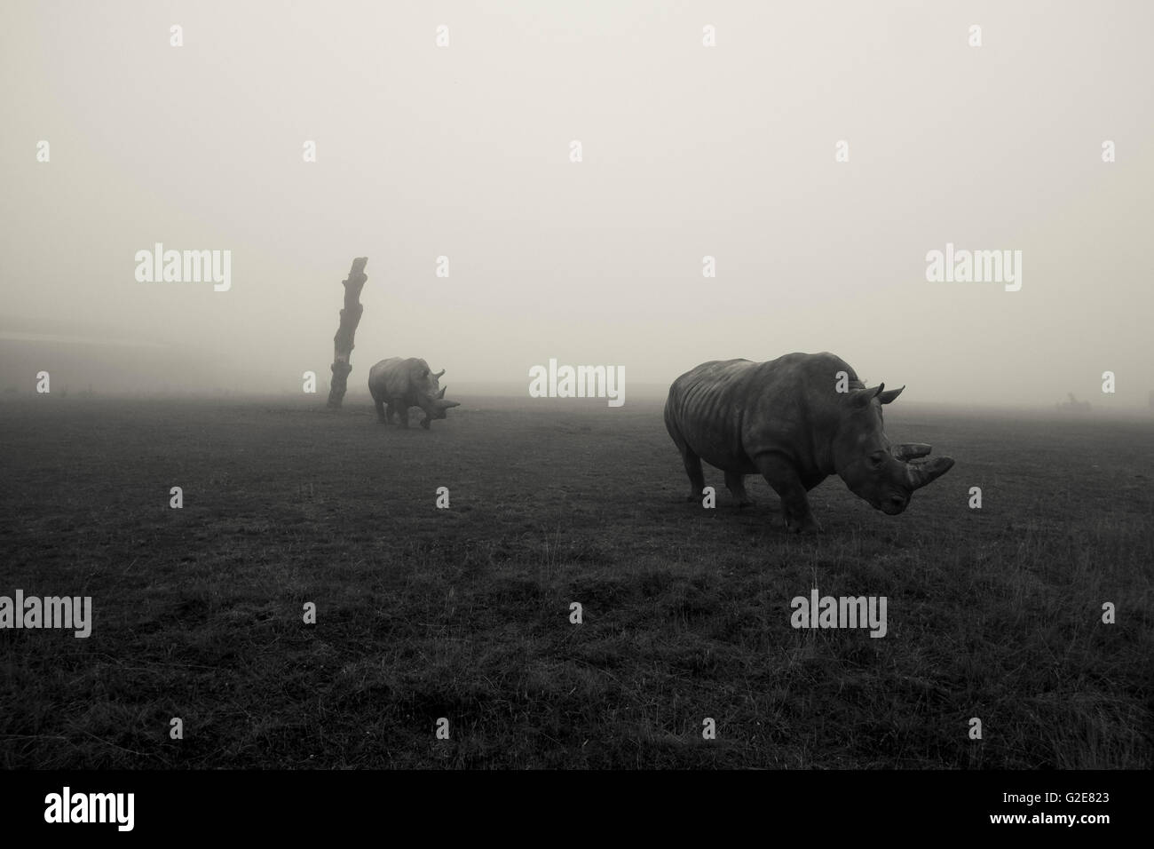 Two Rhinos in Field on Foggy Day - Stock Image
