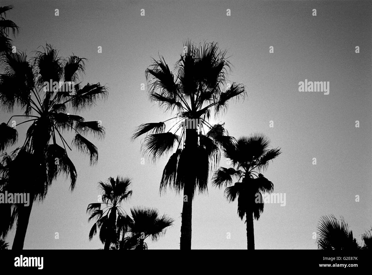 Palm Trees Silhouette, Low Angle View - Stock Image