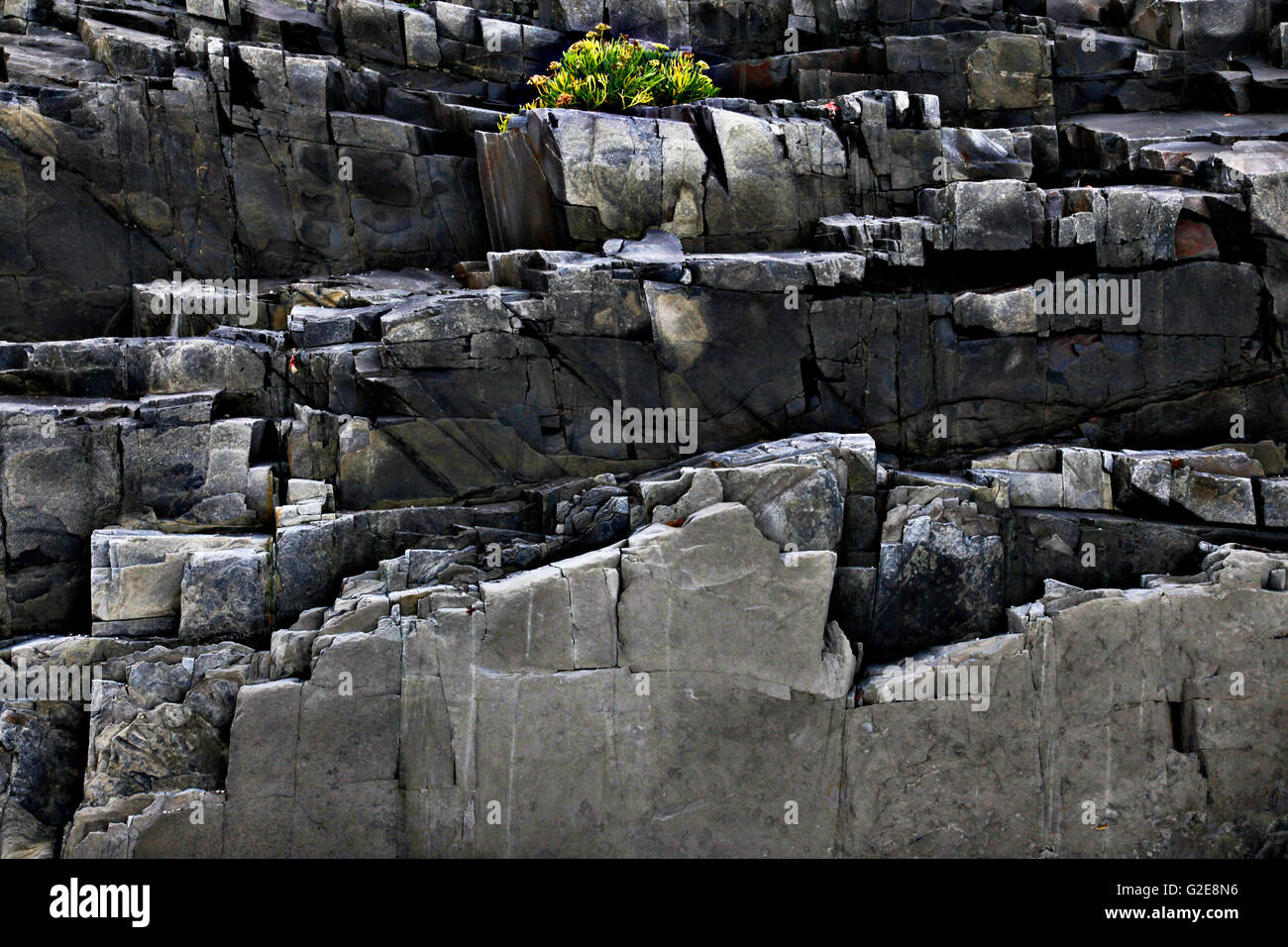 Plant on Rocky Cliff - Stock Image