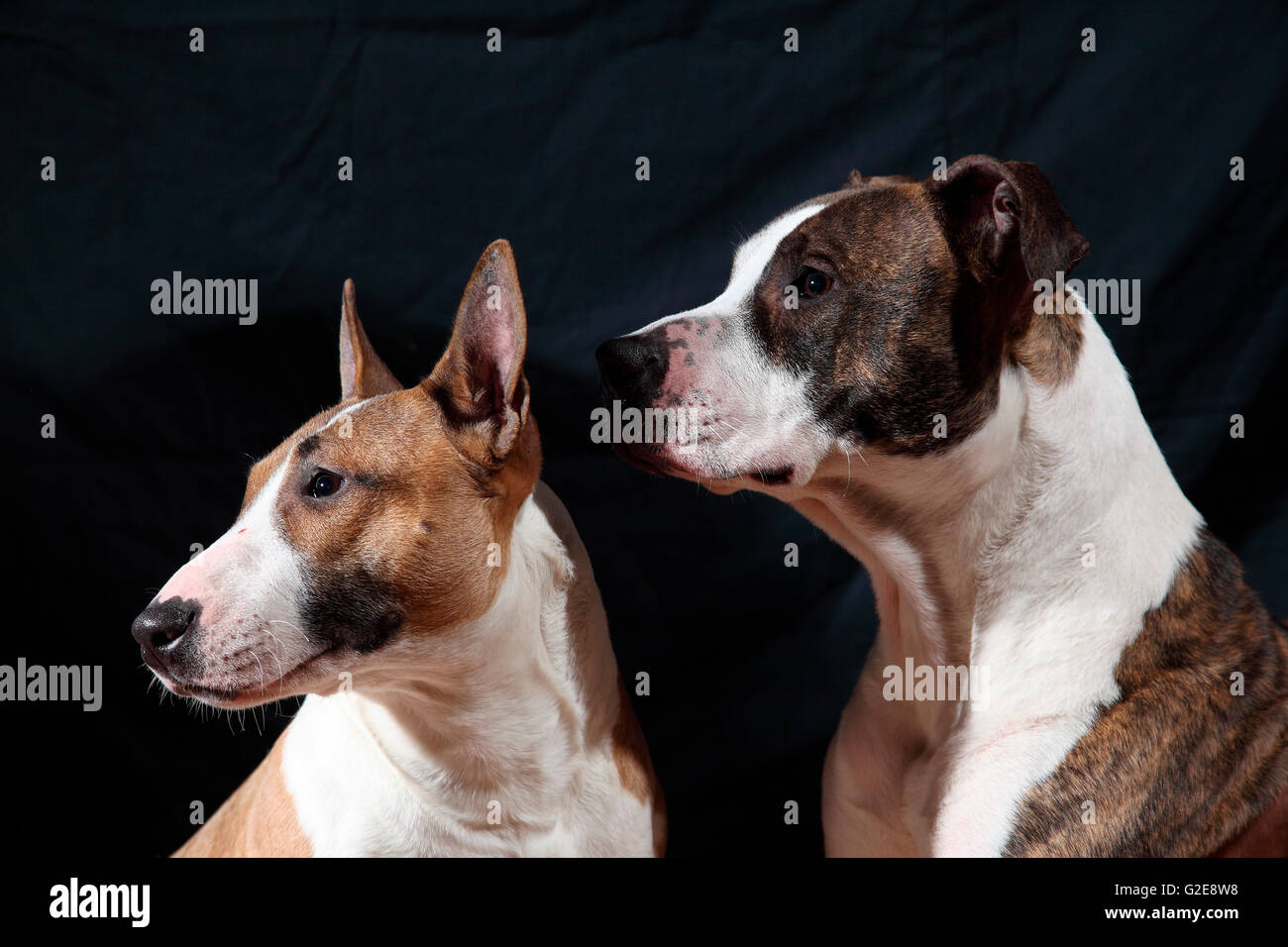American Staffordshire and Bull Terrier Dogs - Stock Image