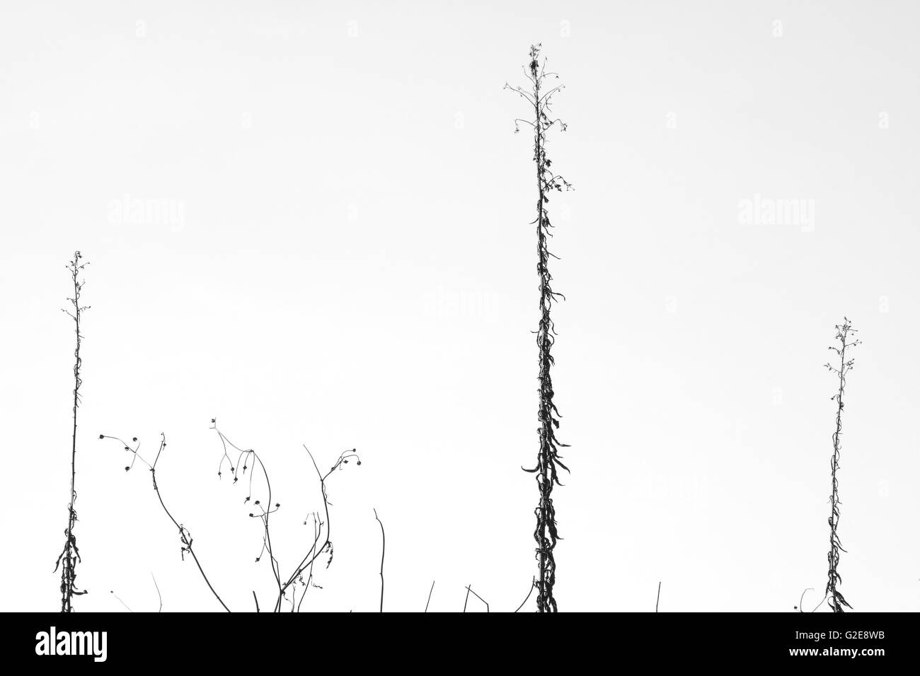 Plant Stems in Winter - Stock Image