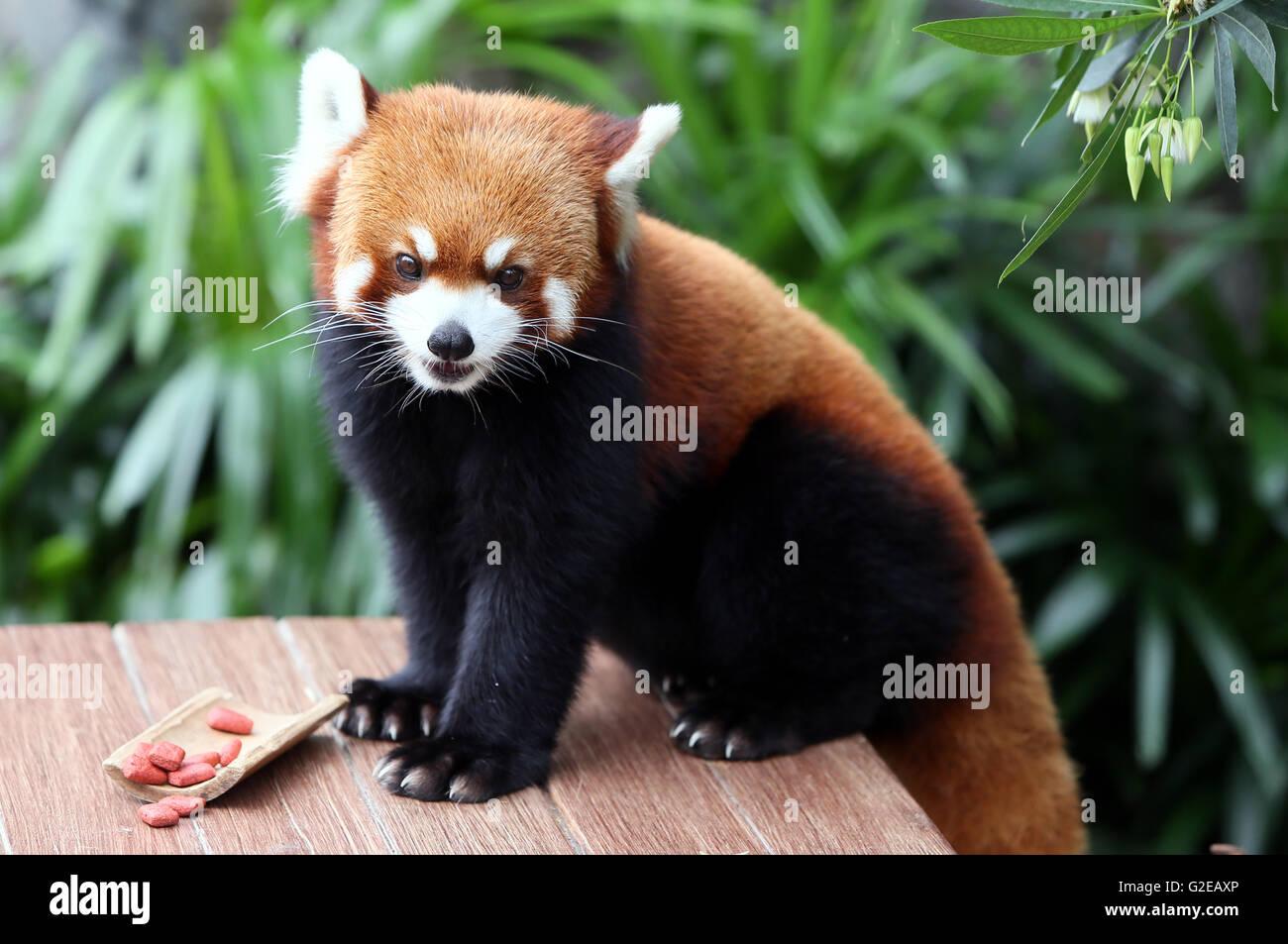 Hong Kong, China. 27th May, 2016. A red panda looks on in the Ocean Park in Hong Kong, south China, May 27, 2016. - Stock Image