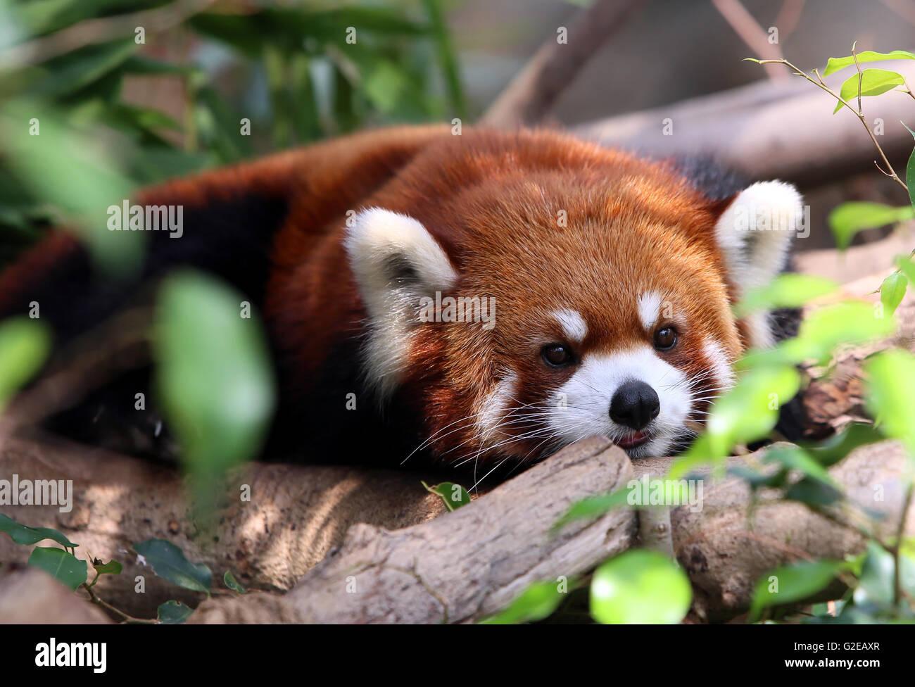 Hong Kong, China. 27th May, 2016. A red panda rests in the Ocean Park in Hong Kong, south China, May 27, 2016. Together - Stock Image