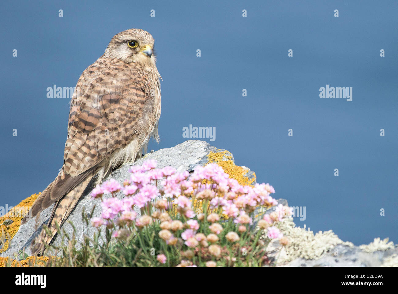 East Pentire, Newquay, Cornwall. 29th May, 2016.  A handsome young Kestrel takes a break from hunting and perches - Stock Image
