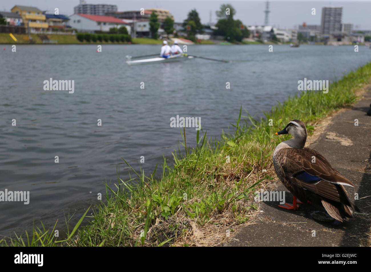 Toda Olympic Rowing Course, Saitama, Japan. 29th May, 2016. General view, MAY 29, 2016 - Rowing : All Japan Lightweight - Stock Image