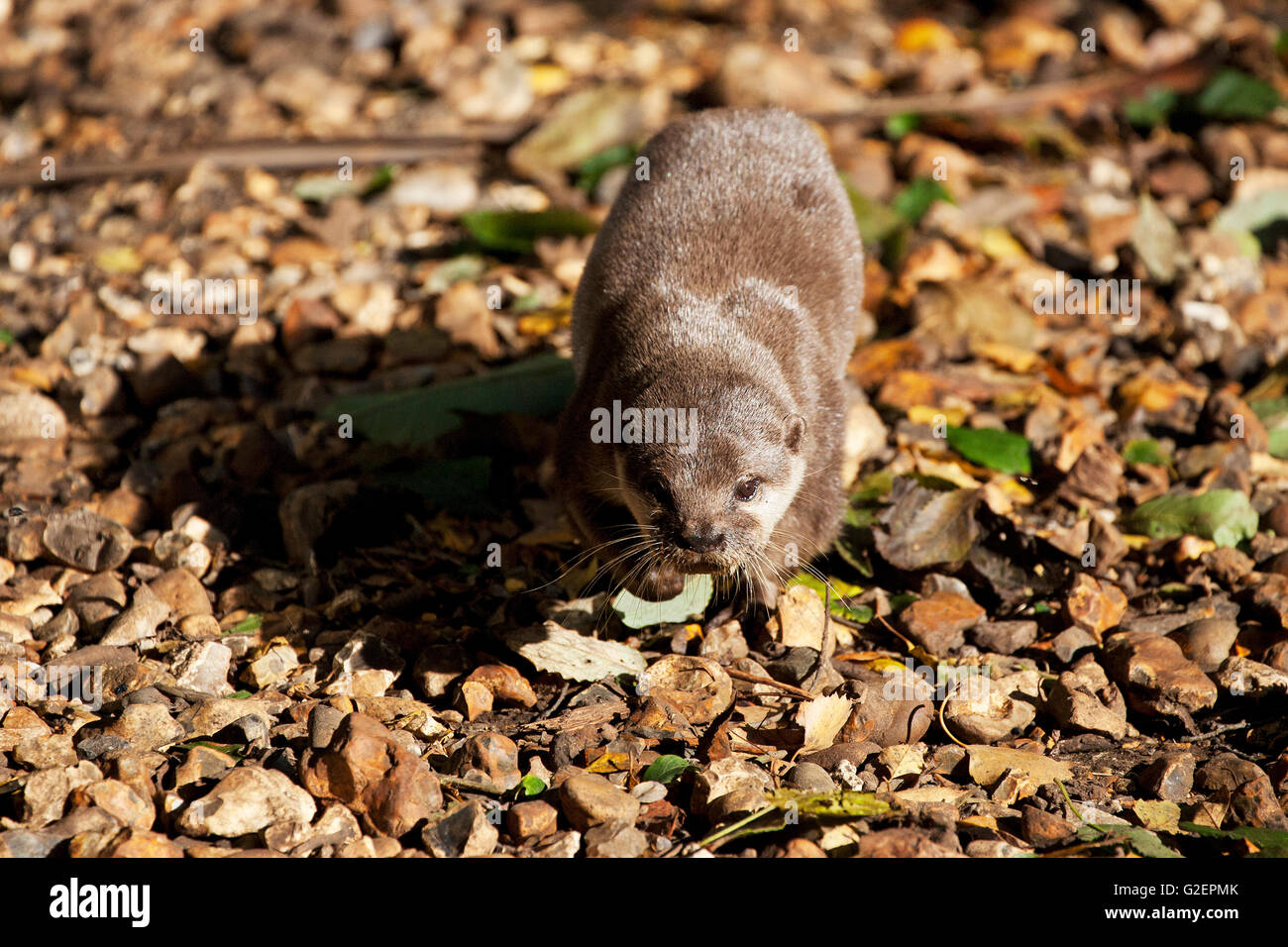 Asian short clawed otter Aonyx cinerea [captive] The New Forest Wildlife Park New Forest National Park Hampshire Stock Photo