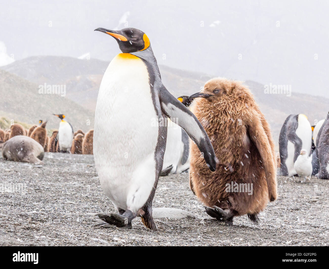 A parent King Penguin walks briskly along a beach with its juvenile in tow - Stock Image
