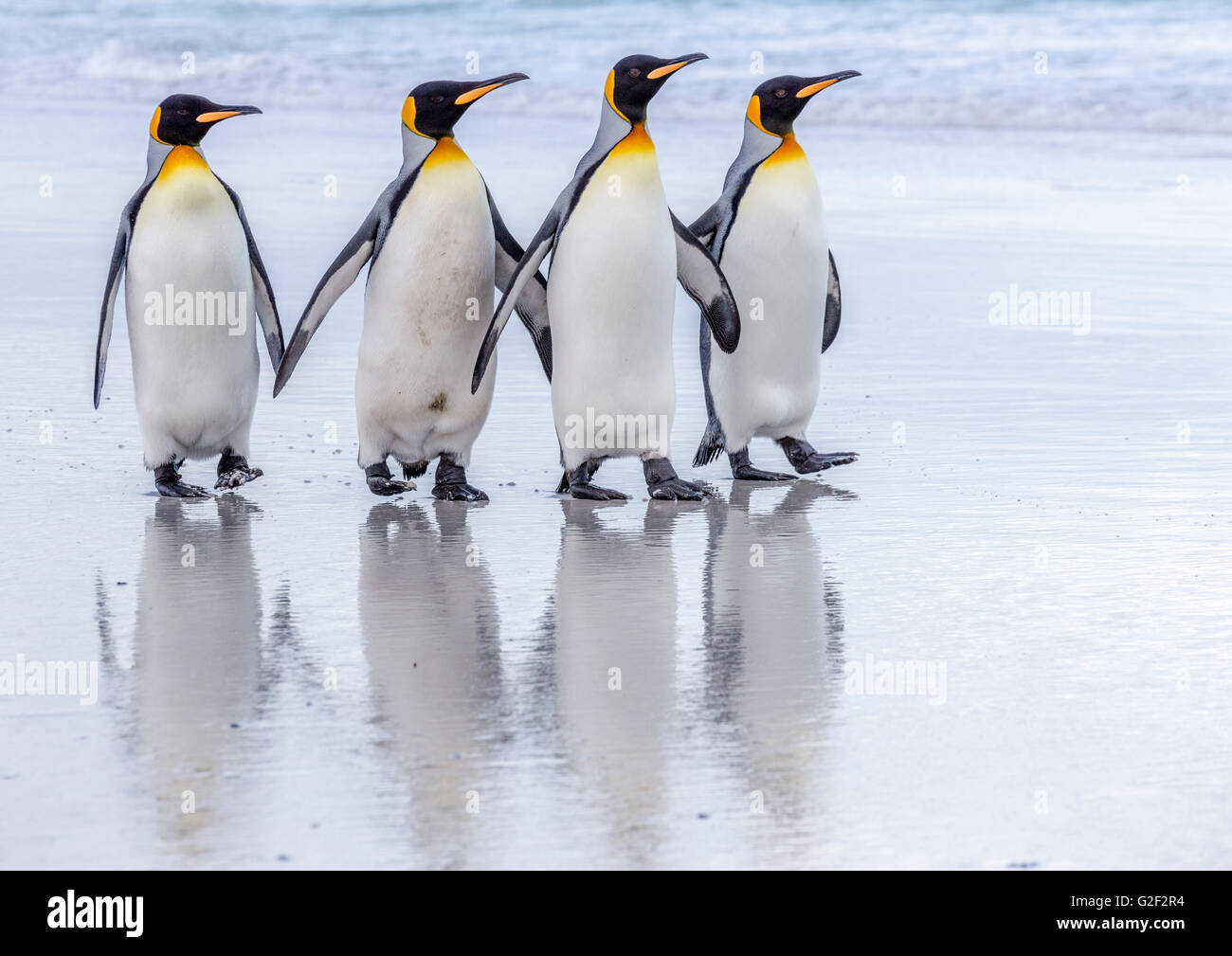 Four King Penguins walk in close formation along a beach - Stock Image