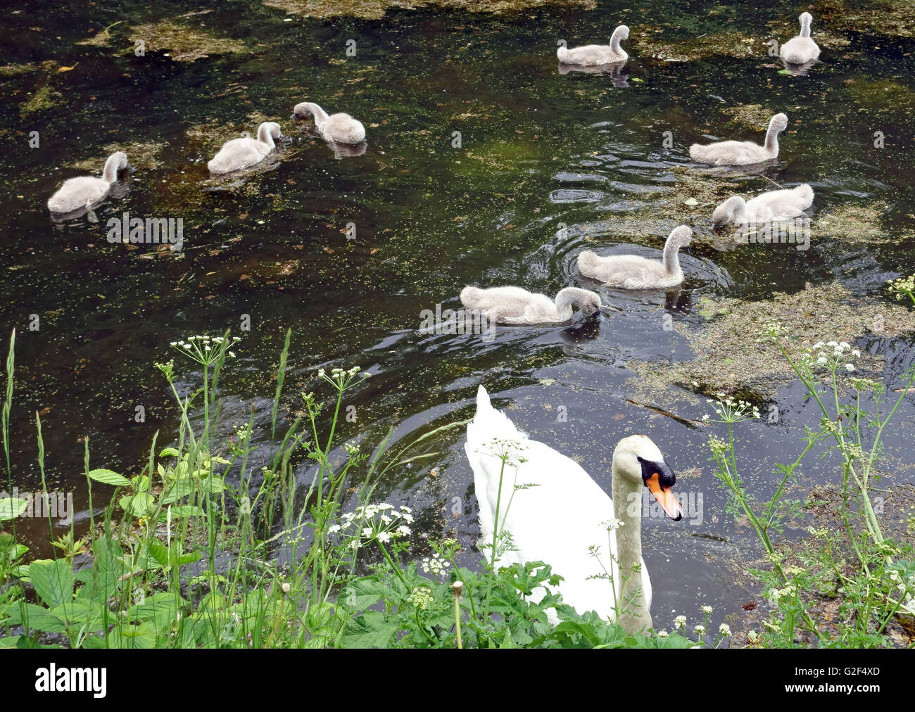 Mute swan with brood of cygnets on Grand Western Canal in Devon, England - Stock Image
