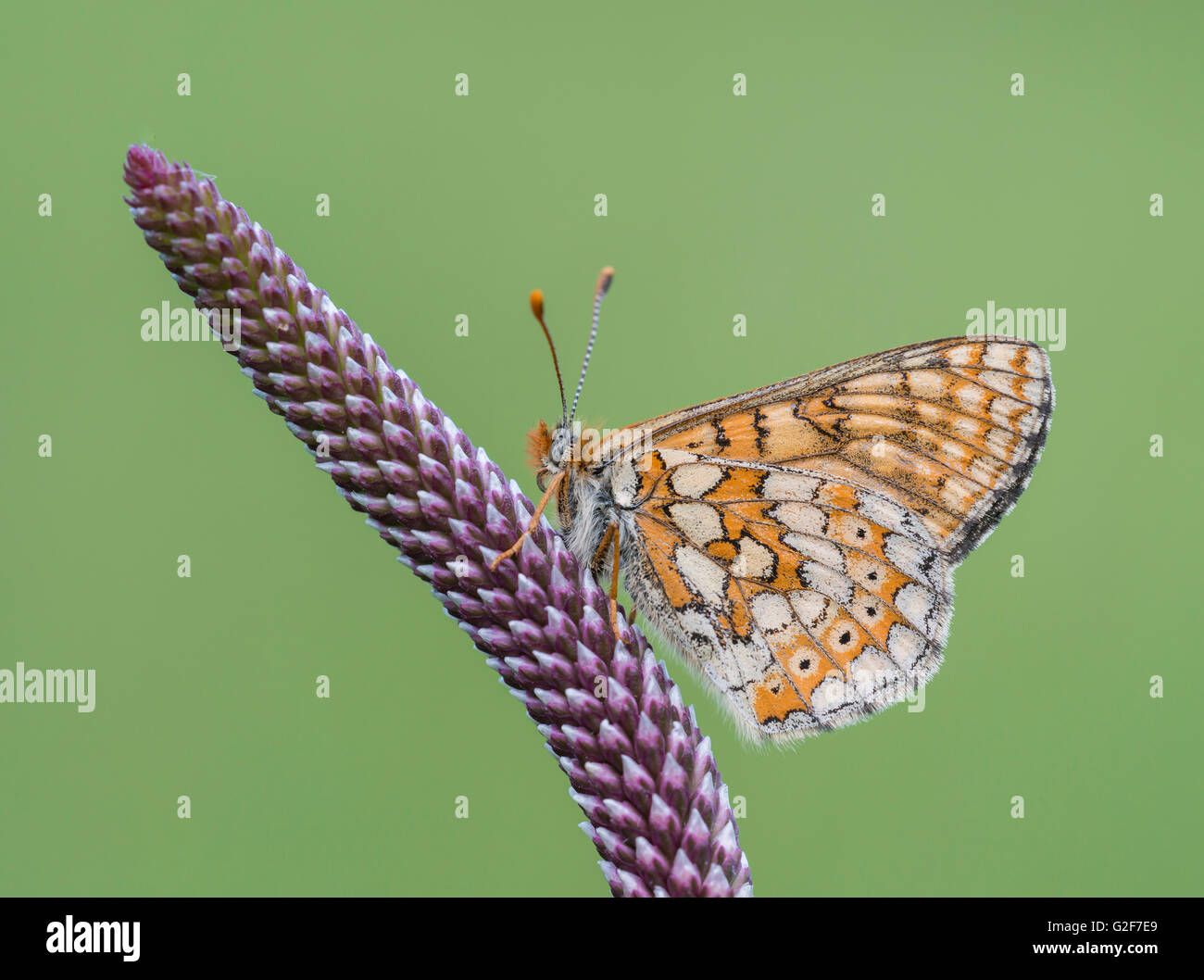 A marsh fritillary butterfly resting on a purple plant shoot, at Strawberry Banks nature reserve in Gloucestershire, - Stock Image