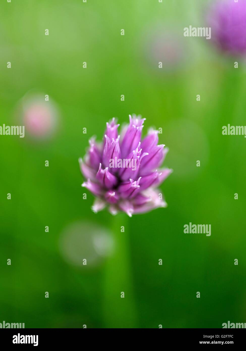 Chives purple flowers - Stock Image