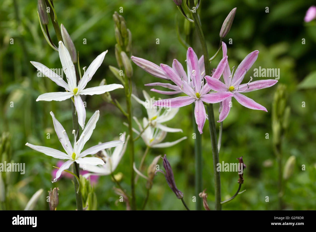 Pink And White Starry Flowers Of The Late Spring Blooming Bulb Stock