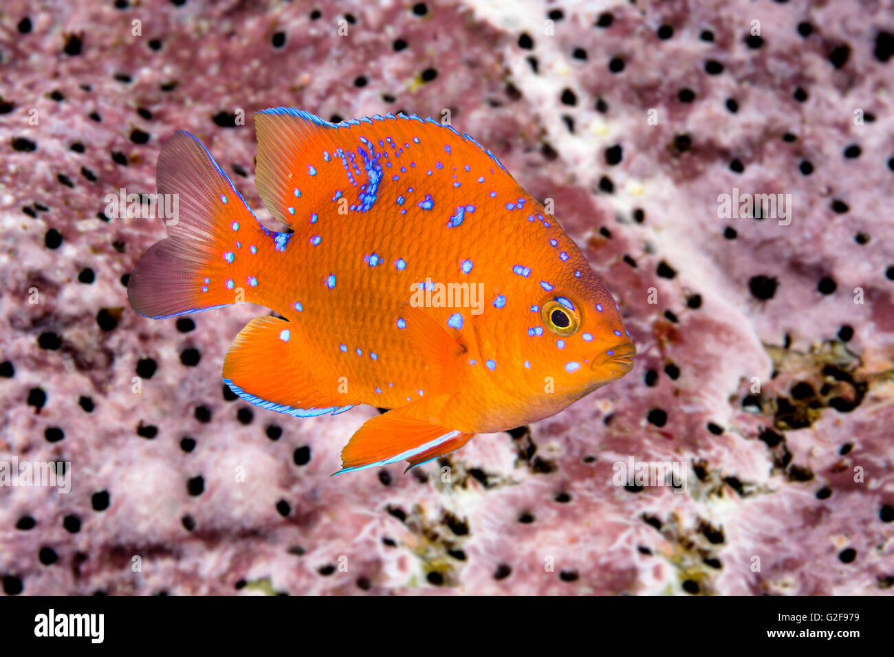 A juvenile garibaldi, the state fish of California, is characterized by its iridescent blue spots, which disappear - Stock Image