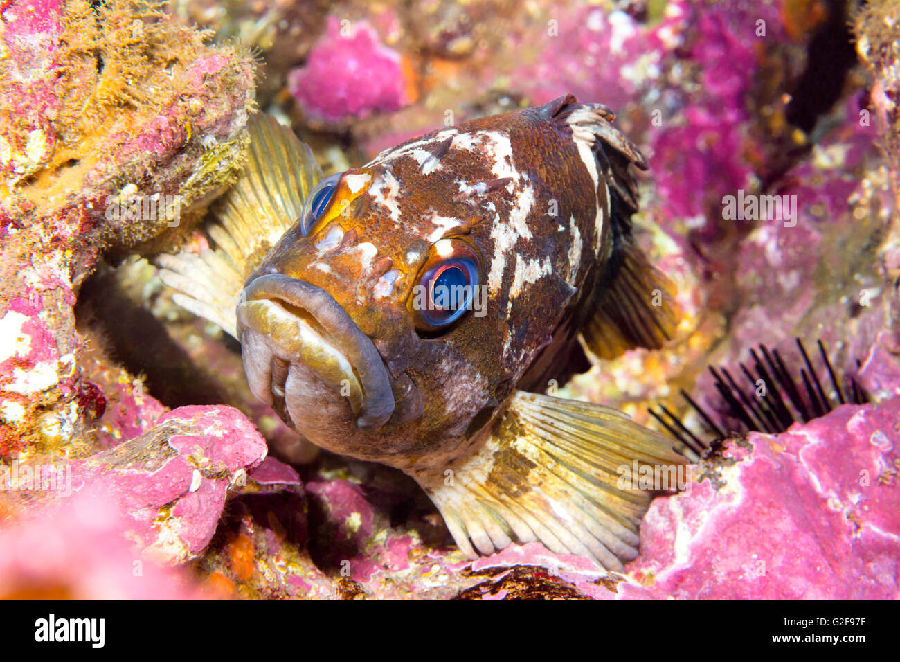 California gopher rockfish uses its fins to wedge itself onto a reef while resting at dusk - Stock Image