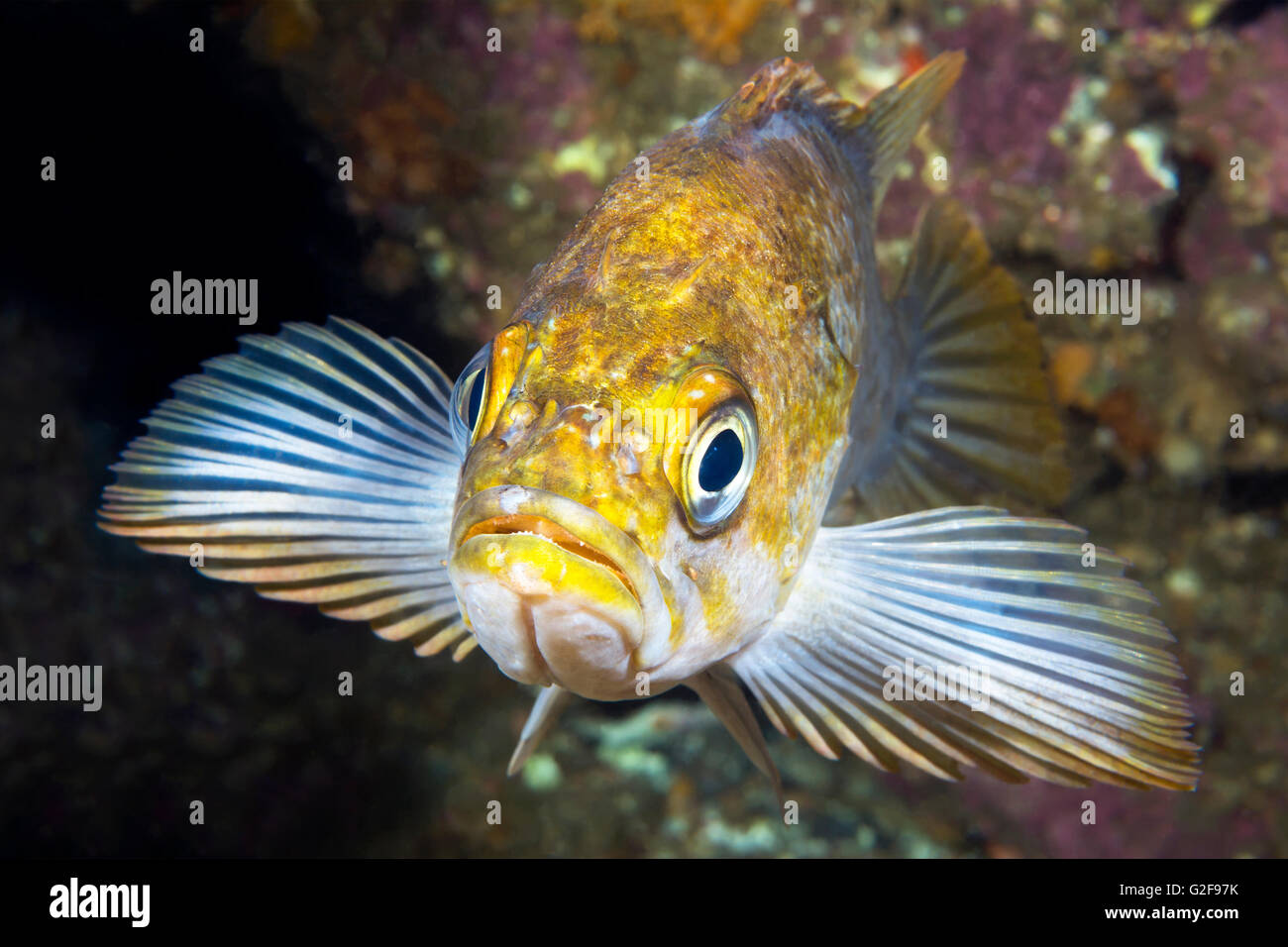 A California copper rockfish uses its fins to wedge itself onto a reef while resting at dusk - Stock Image