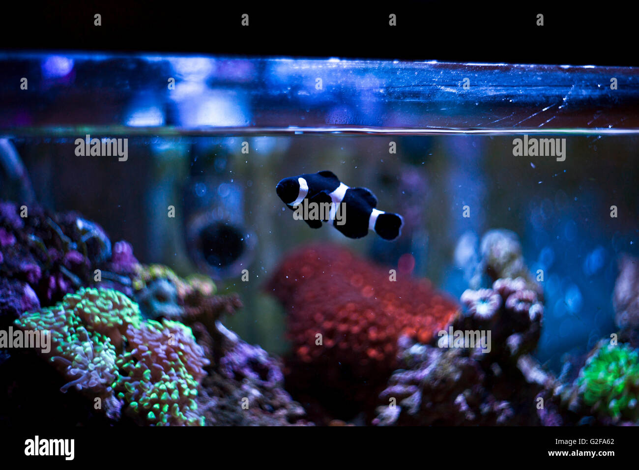 Black And White Striped Fish In Fish Tank Stock Photo 104828810 Alamy