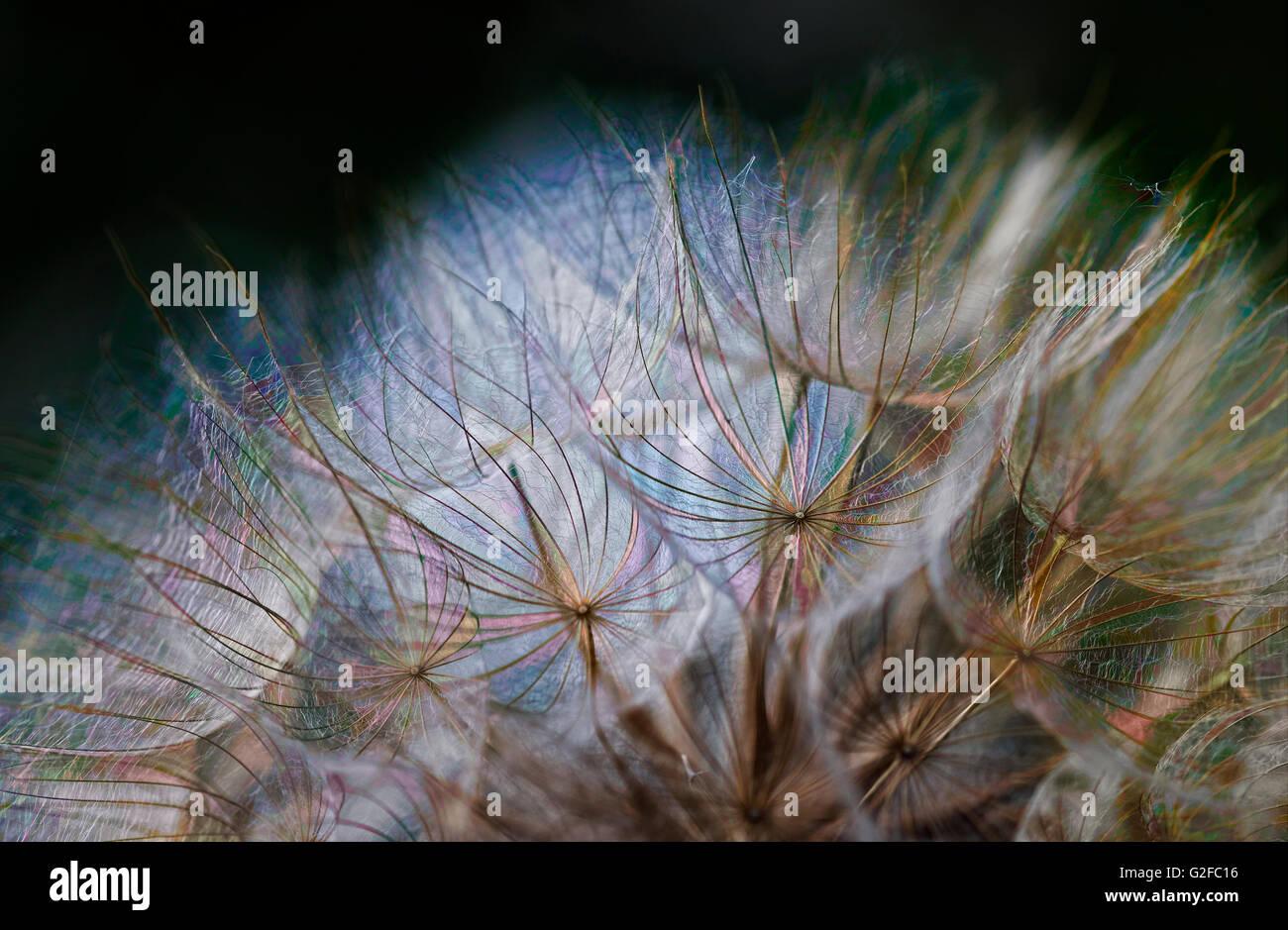 fine art macro dandelion colorful light - Stock Image