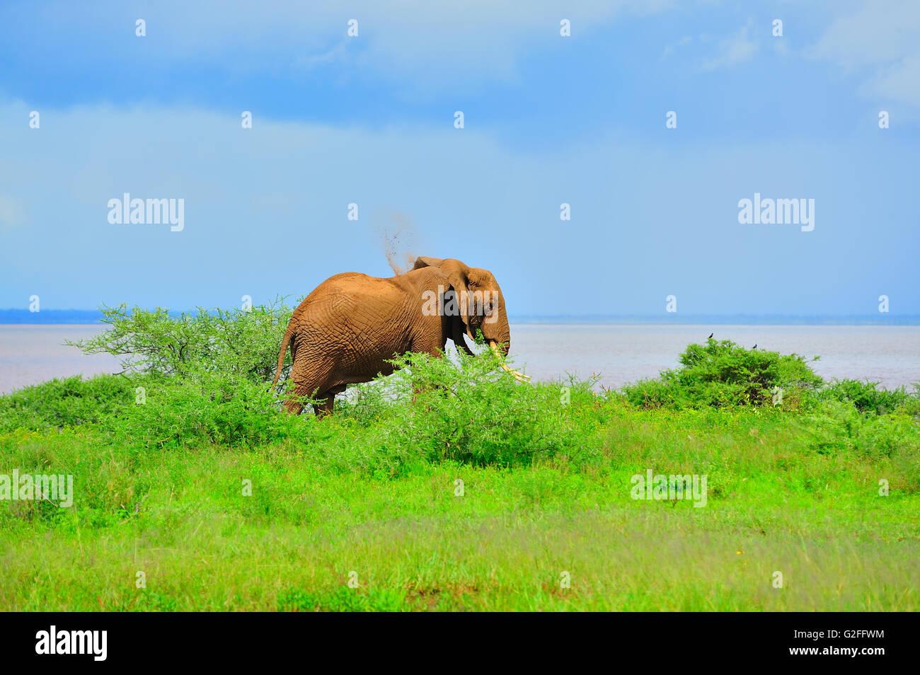 Elephant taking a dust shower at the shore of Lake Manyara - Stock Image