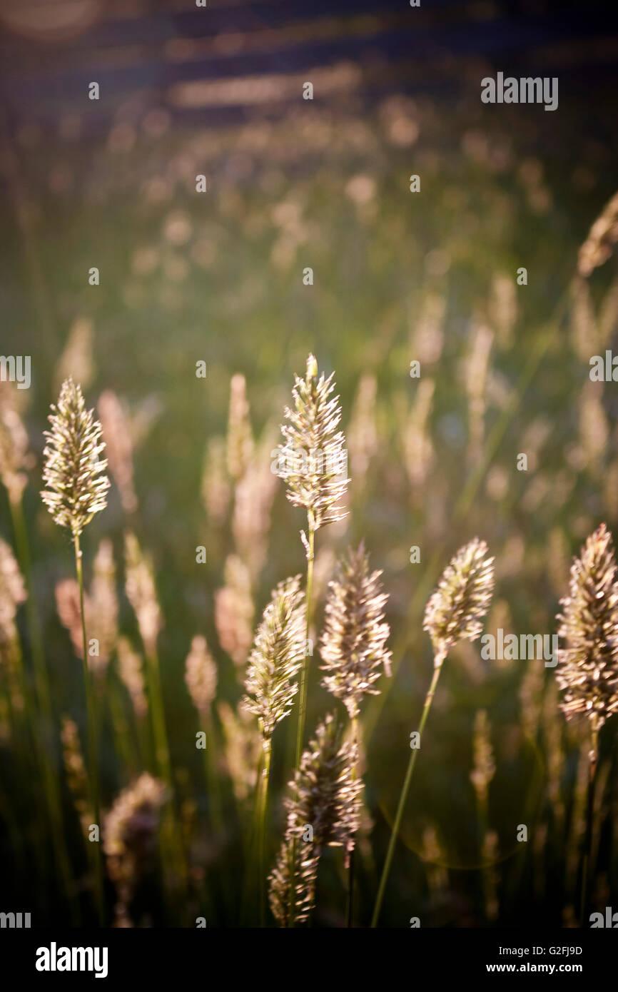 Wheat Germ Grass - Stock Image