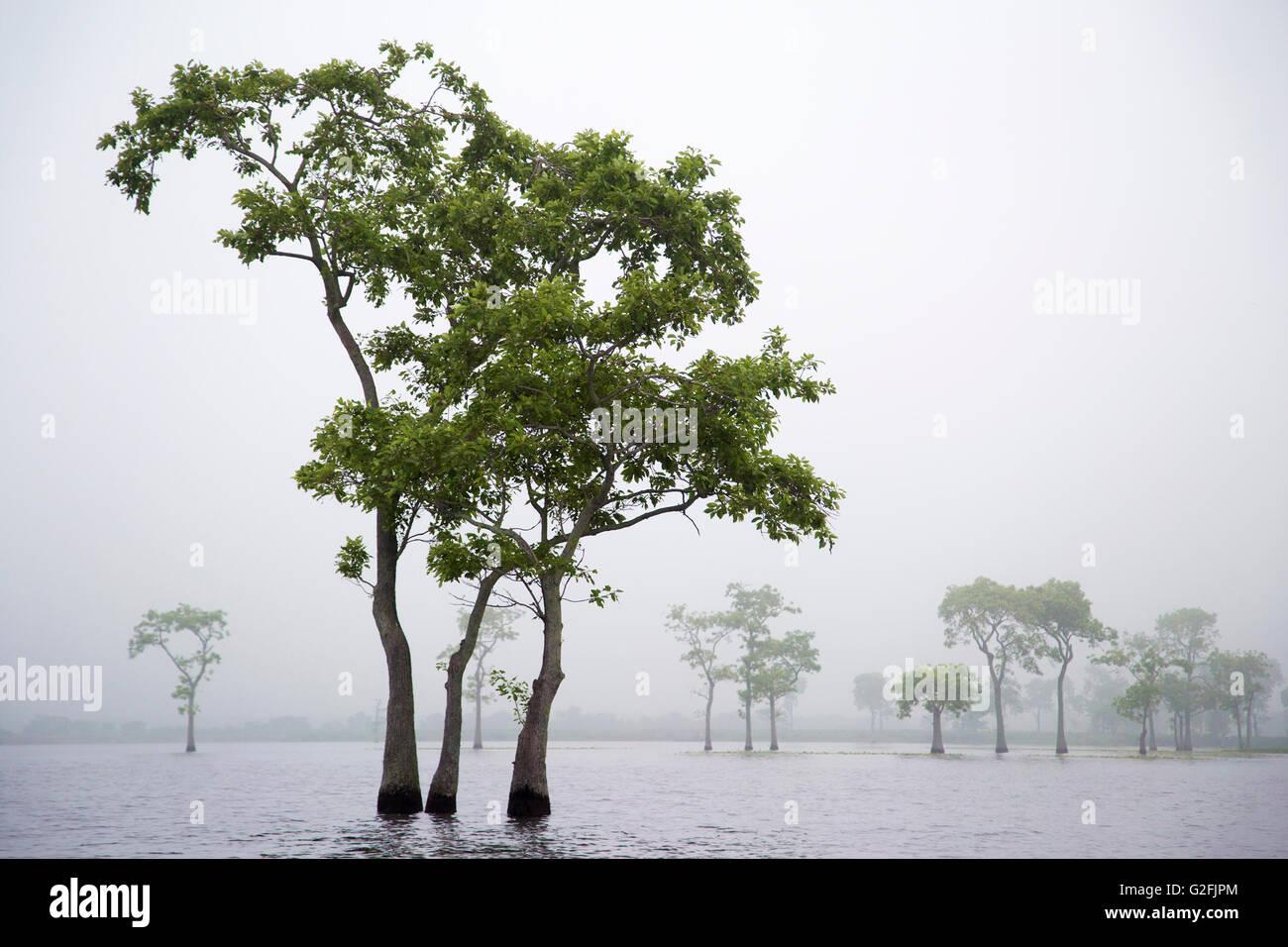 Tupelo trees (Nyssa aquatica) in morning mist at Miller's Lake - Stock Image