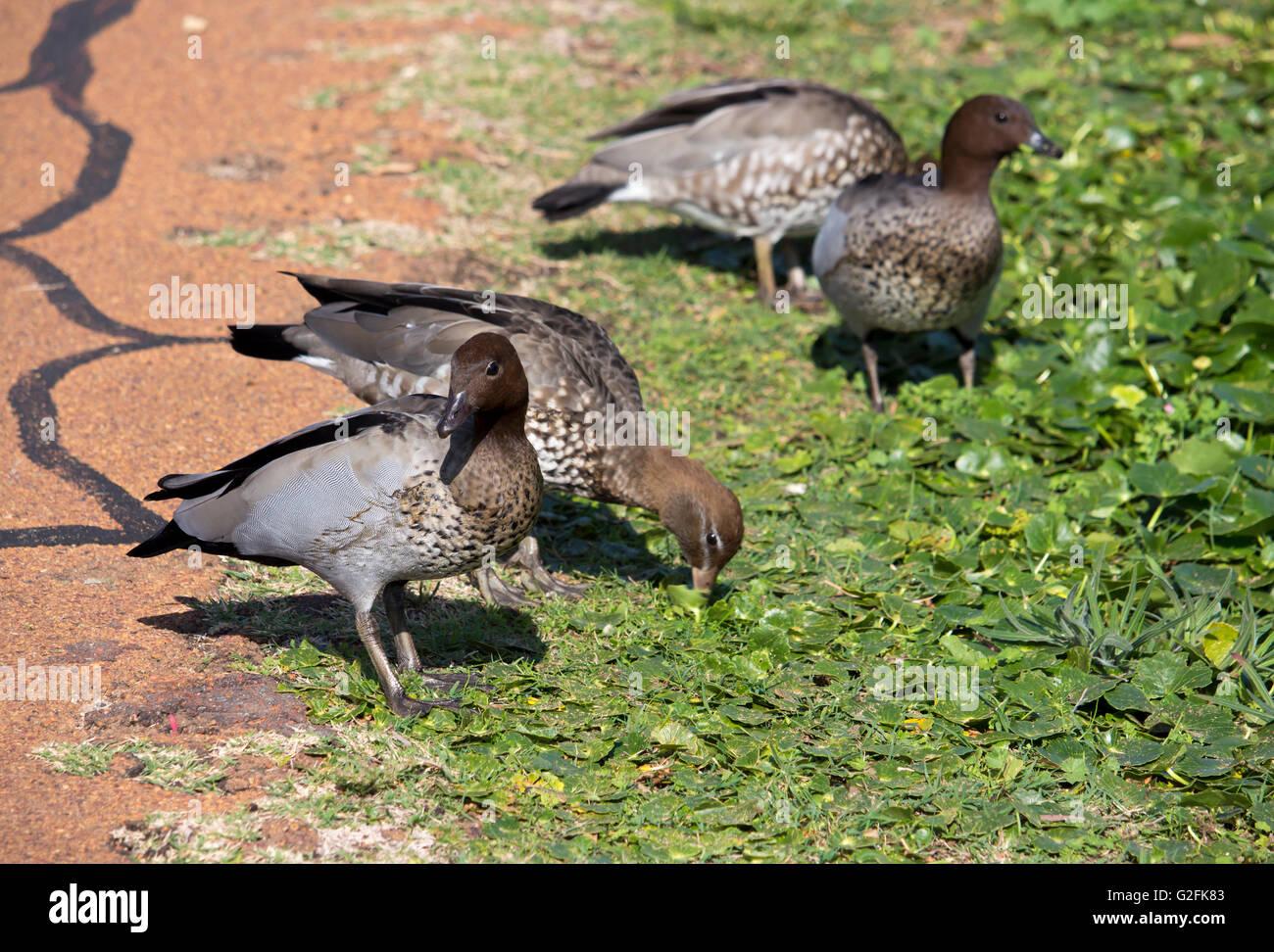 Australian wood ducks   chenonetta jubata   eating grass in a green field  near a cycleway in Big Swamp, Bunbury, - Stock Image