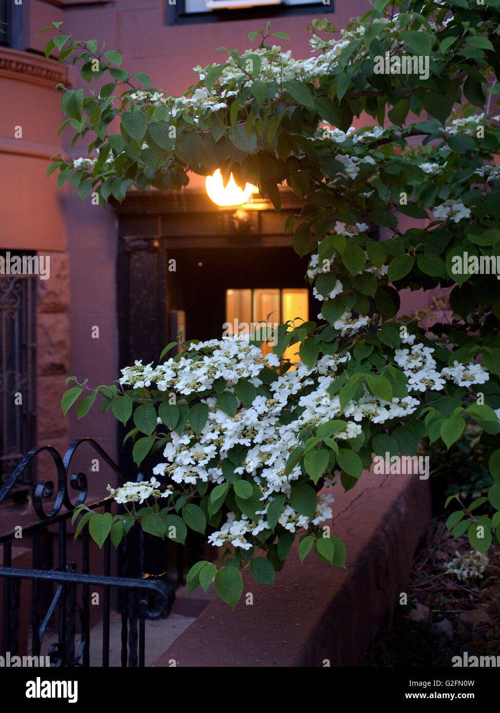 brooklyn spring morning dusk sunrise tee trees flowers bloom - Stock Image