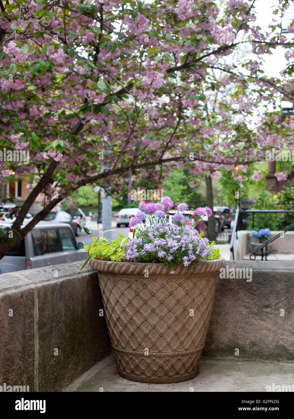 brooklyn spring morning dusk sunrise tee trees flowers bloom blossoms city nature urban homes houses brownstone - Stock Image