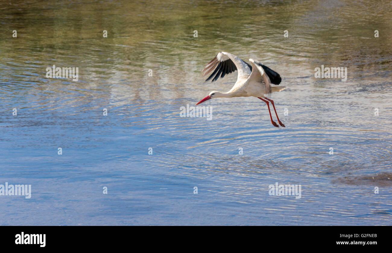 European White Stork Ciconia ciconia in flight over river, Silves, Algarve, Portugal Stock Photo