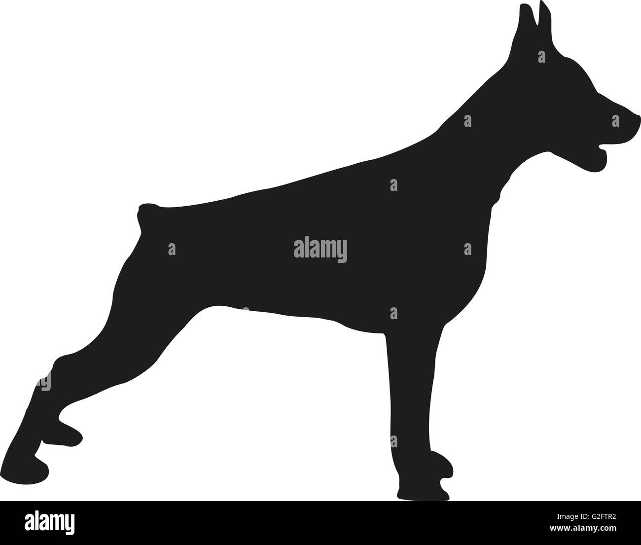 Doberman standing - Stock Image