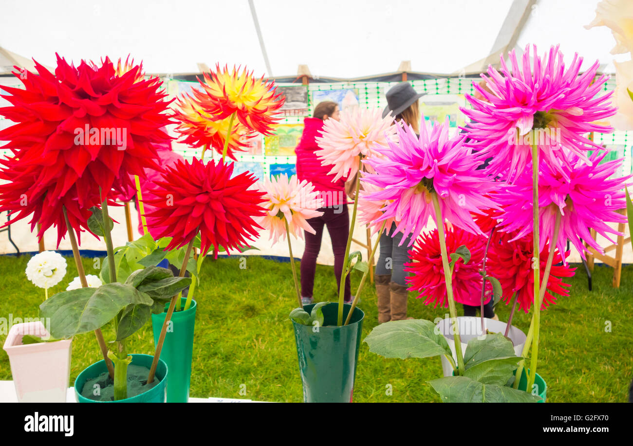 Prize winning Dahlia flowers and veg at Kildale show, North Yorkshire, England. UK - Stock Image
