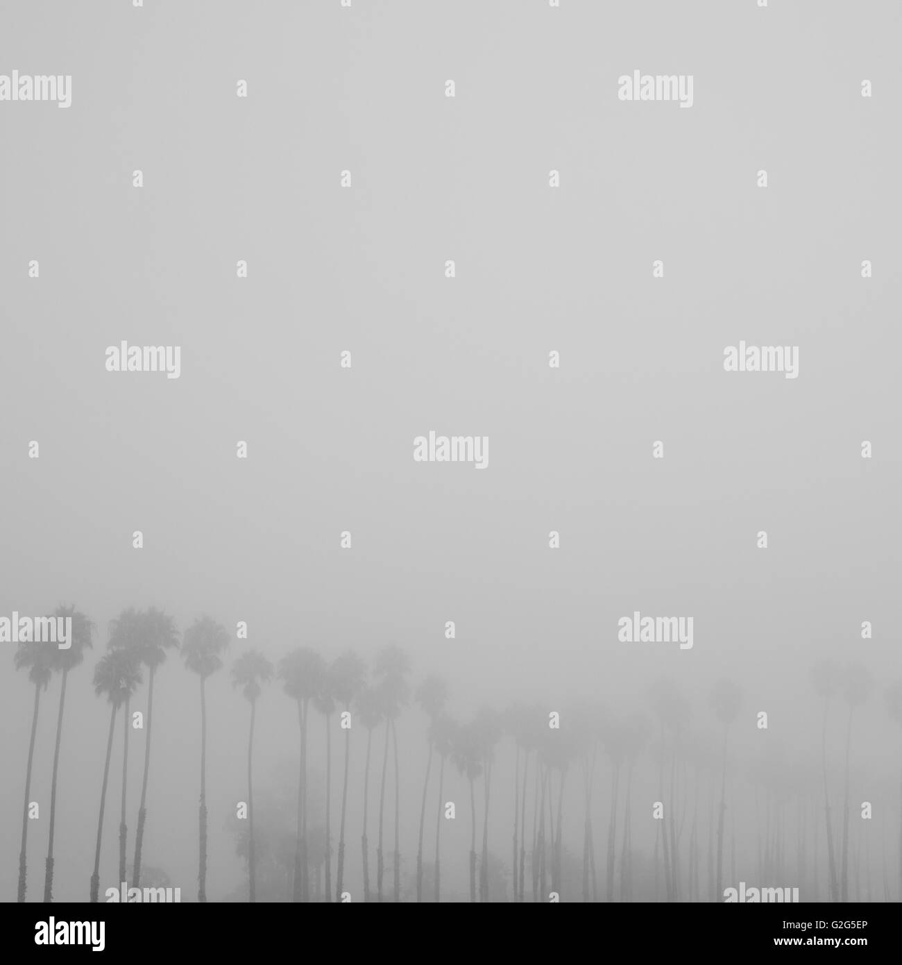 Row of Palm Trees in Fog - Stock Image