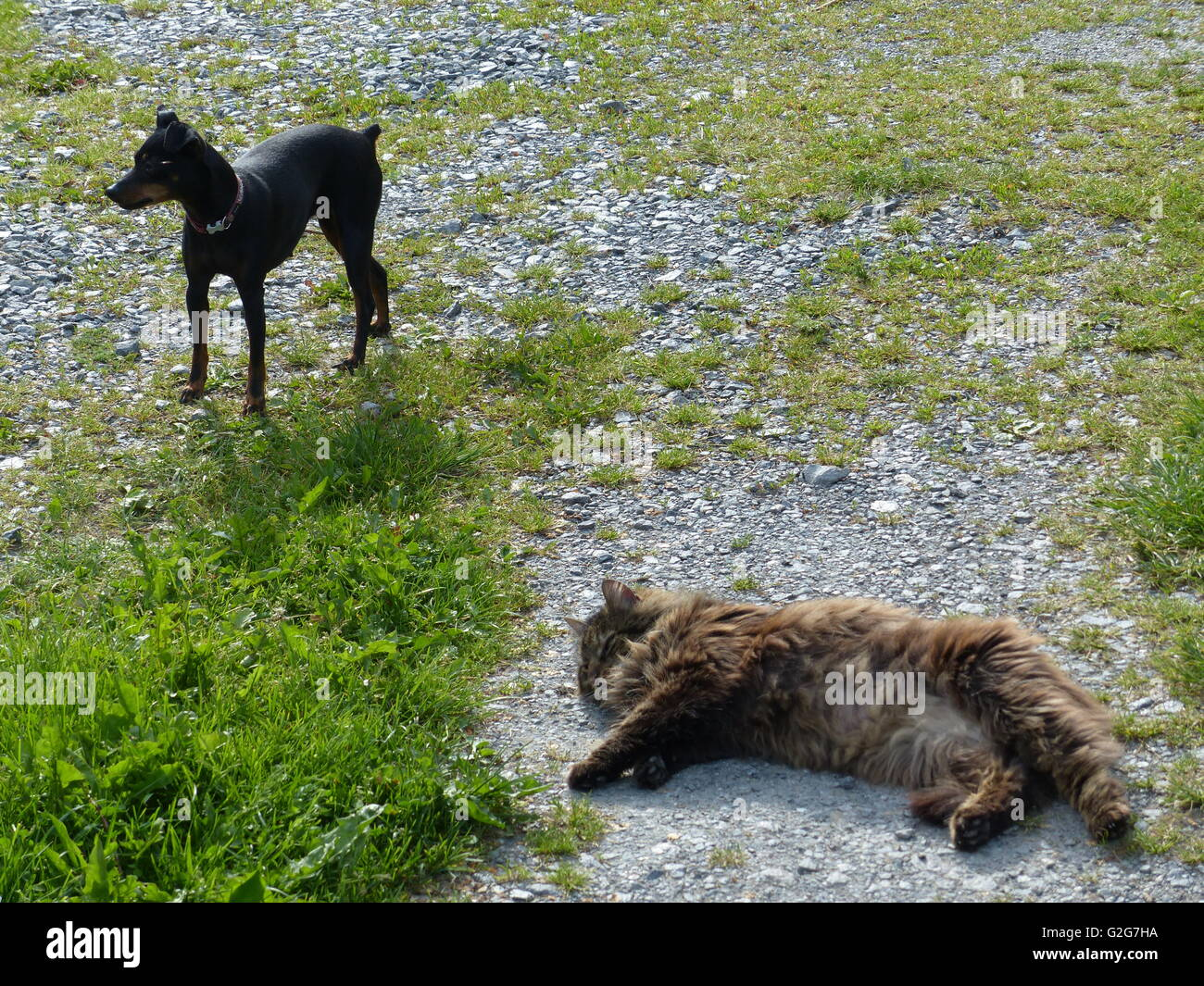 Cat laying on gravel playing dead while mini doberman pincher stands victorious near by - Stock Image