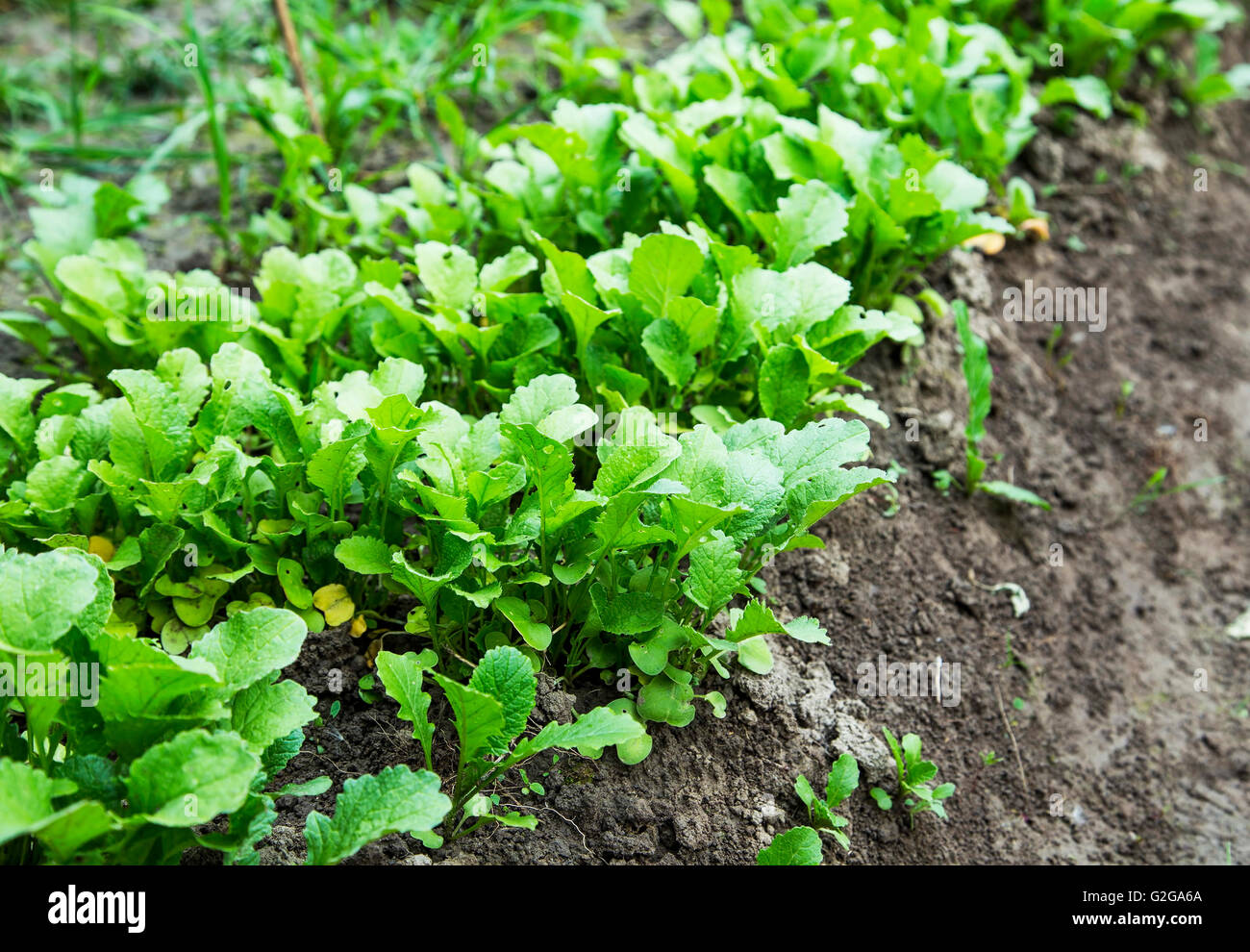 Bio organic radish seedling growing in the vegetable garden - Stock Image