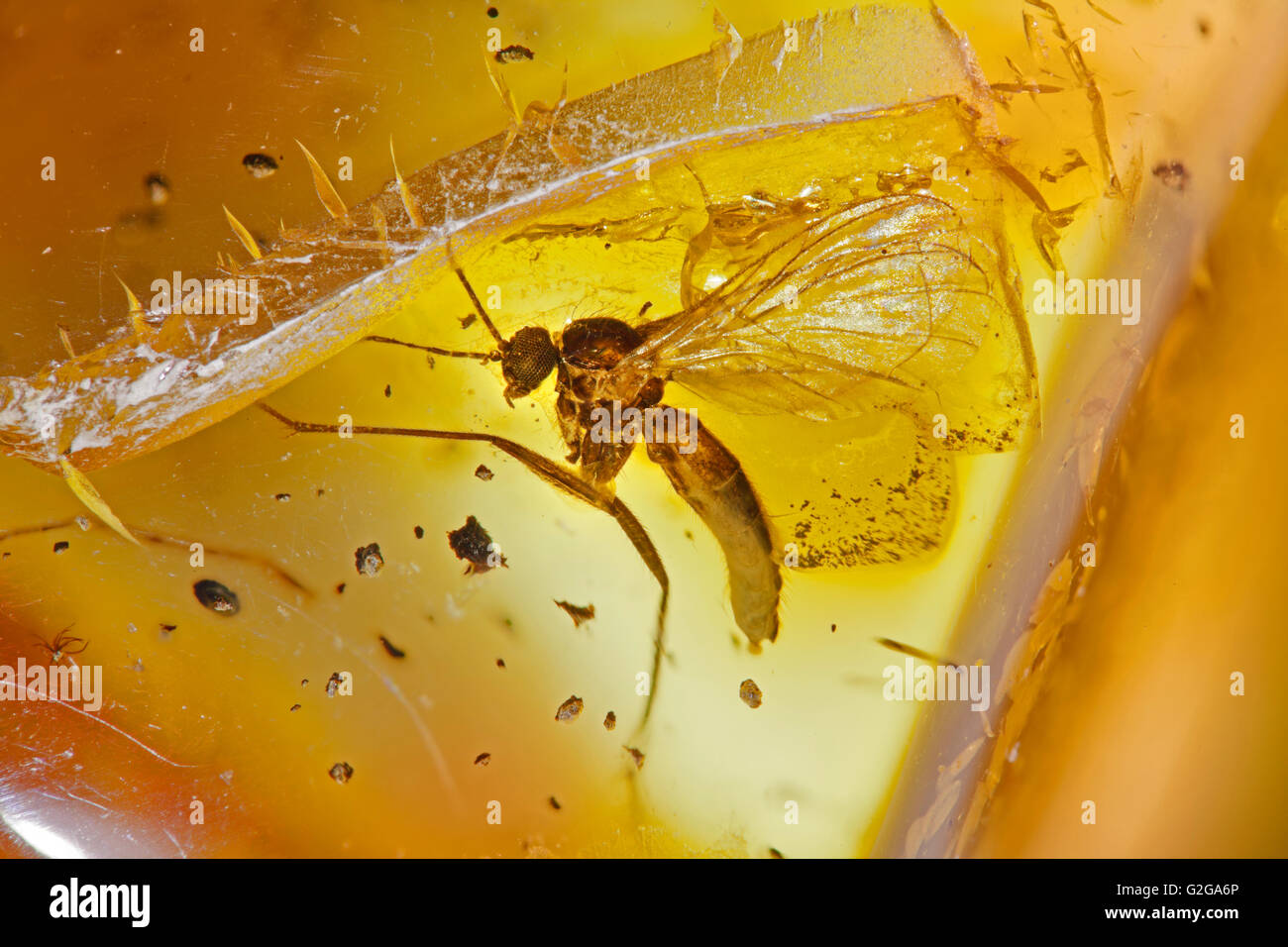 Trapped fly insect in Baltic amber, 44 million years old, lower middle Eocene era - Stock Image
