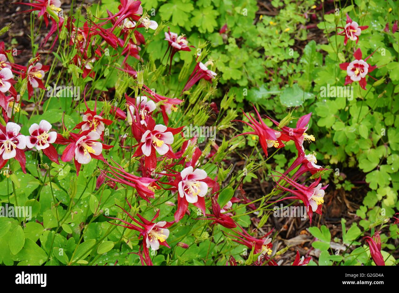 Red columbine stock photos red columbine stock images page 3 alamy red and white origami columbine flower aquilegia stock image izmirmasajfo