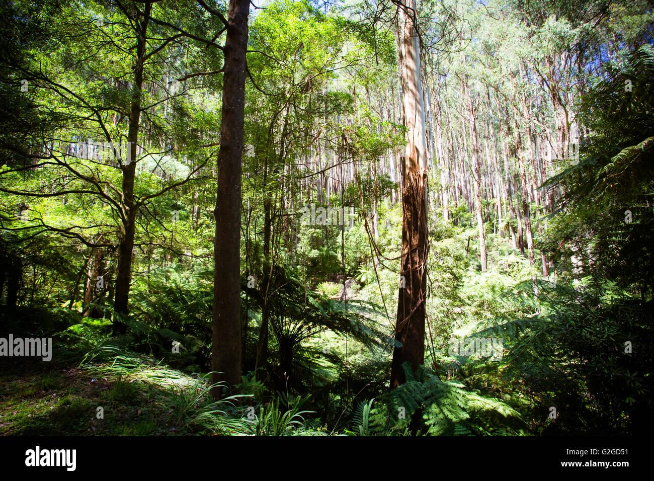 The Black Spur after Black Saturday bushfires near Healesville, Victoria, Australia - Stock Image