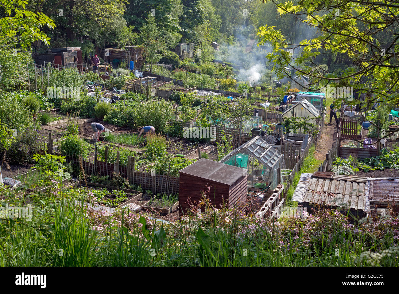 Allotments in summer in Edinburgh, Scotland. - Stock Image